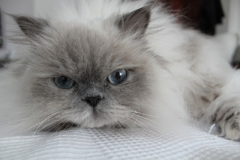 Himalayan cat images