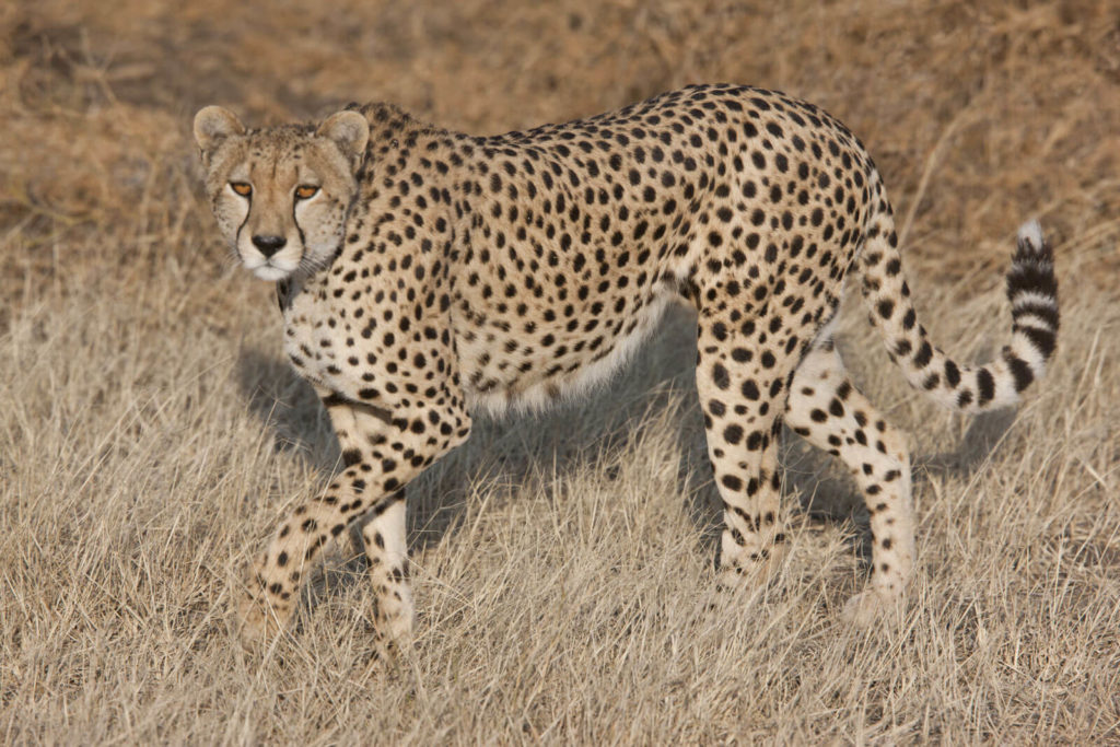 Tanzanian Cheetah photos