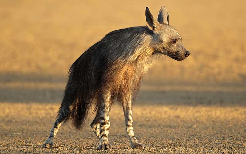 Brown Hyena images