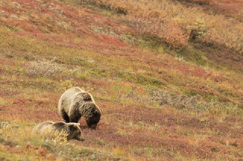 brown bear images and photo