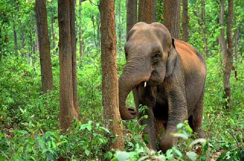 African Forest Elephant images
