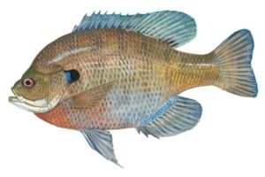 Bluegill fish photos
