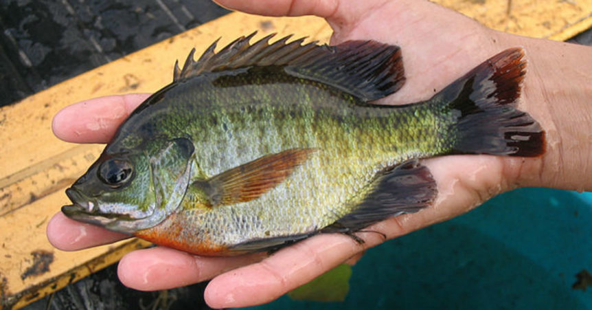 Bluegill fish