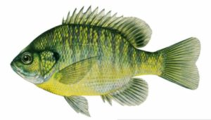 Bluegill photo