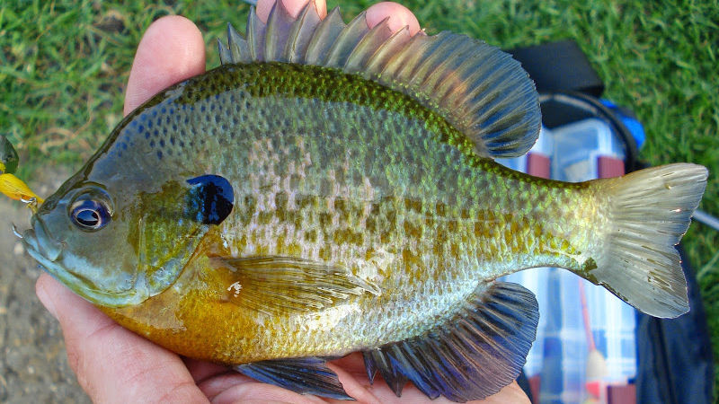 photo of Bluegill