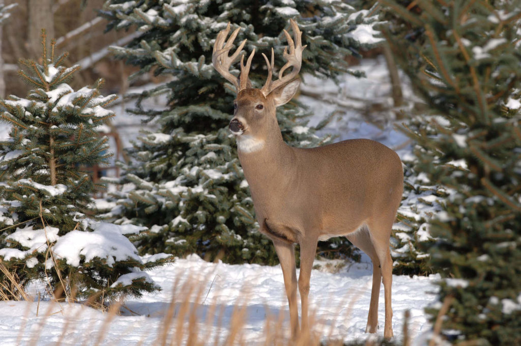 White-tailed deer images