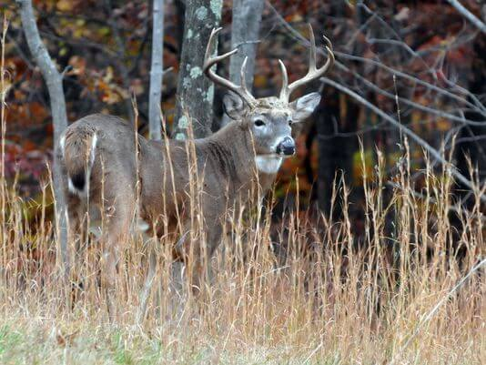White-tailed deer images free download