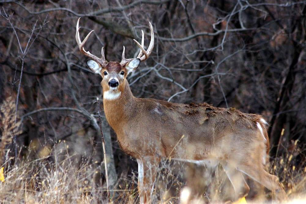 White-tailed deer photos