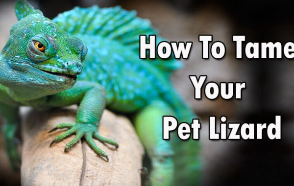 How To Tame Your Pet Lizard